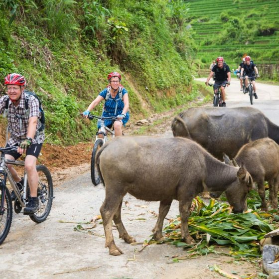 Biking in Sapa alongside buffalos