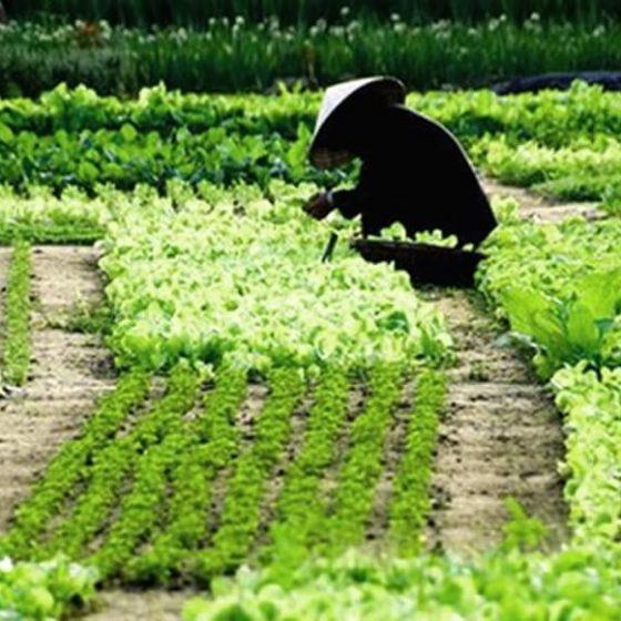 Tra Que farming village